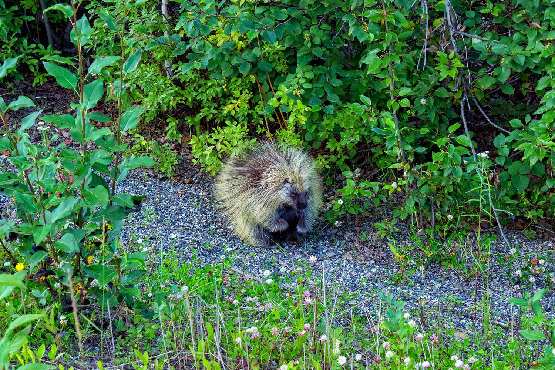 これが本場の自然、アラスカに暮らす野生のカナダヤマアラシ