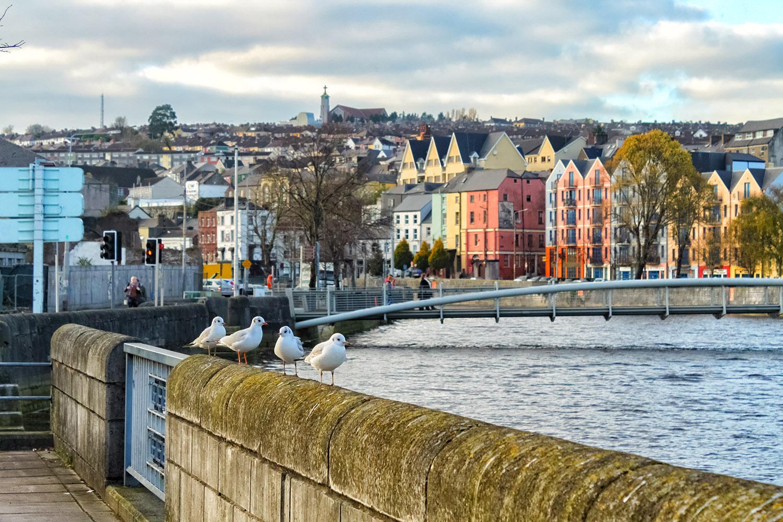 アイルランドに到着したユリカモメ
