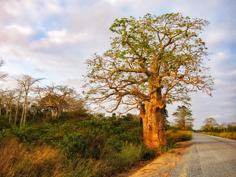 アンゴラ、道路沿いの灌木