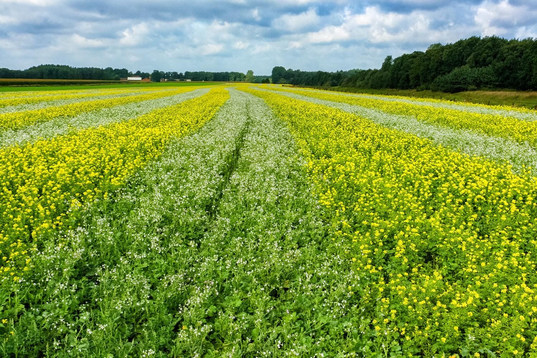 ドイツ郊外の農村に広がるお花畑