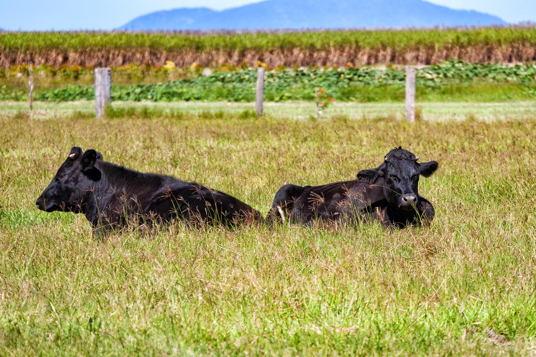 オーストラリアの牛