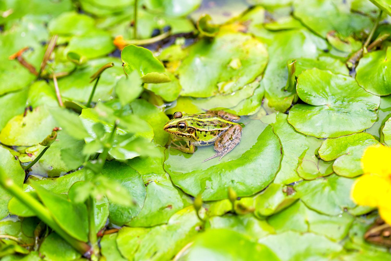 里山の池に暮らすカエル 無料壁紙 商用利用可の画像素材ならfotoma