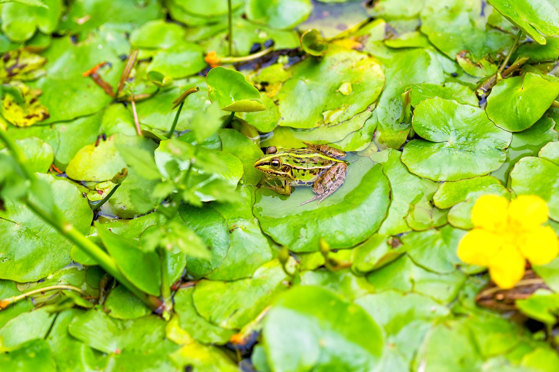 梅雨の風物 緑の葉に小さなカエル 無料壁紙 商用利用可の画像素材
