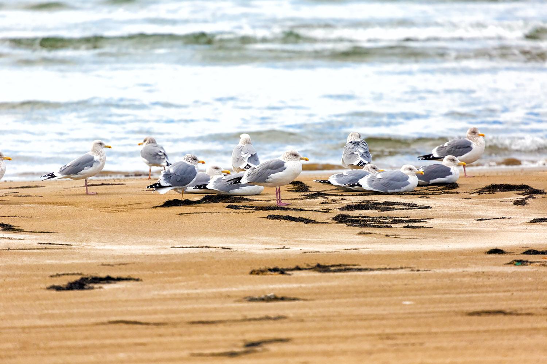 続々と集まってくる海辺のカモメたち
