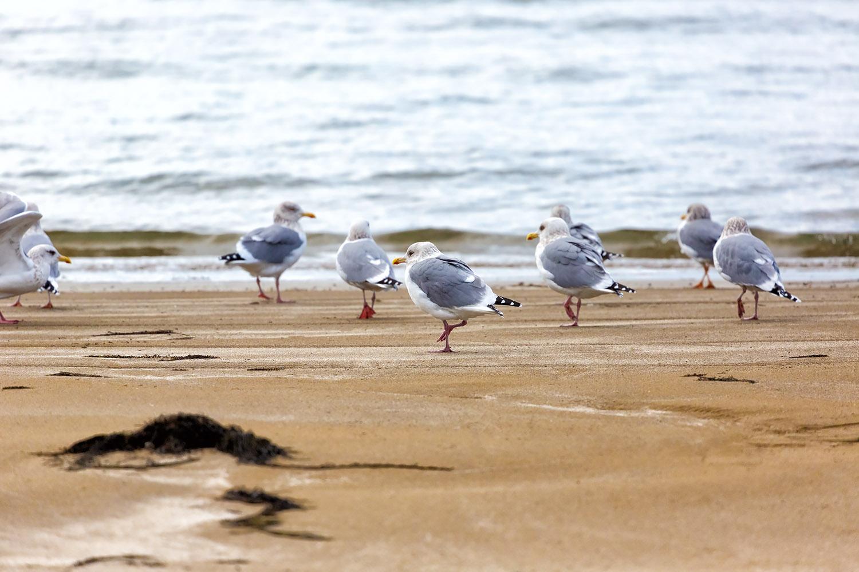 海辺に集うカモメ