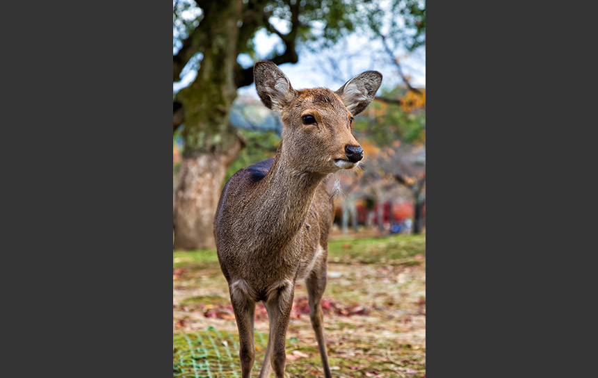 奈良の自然の中で過ごすニホンジカ(鹿)
