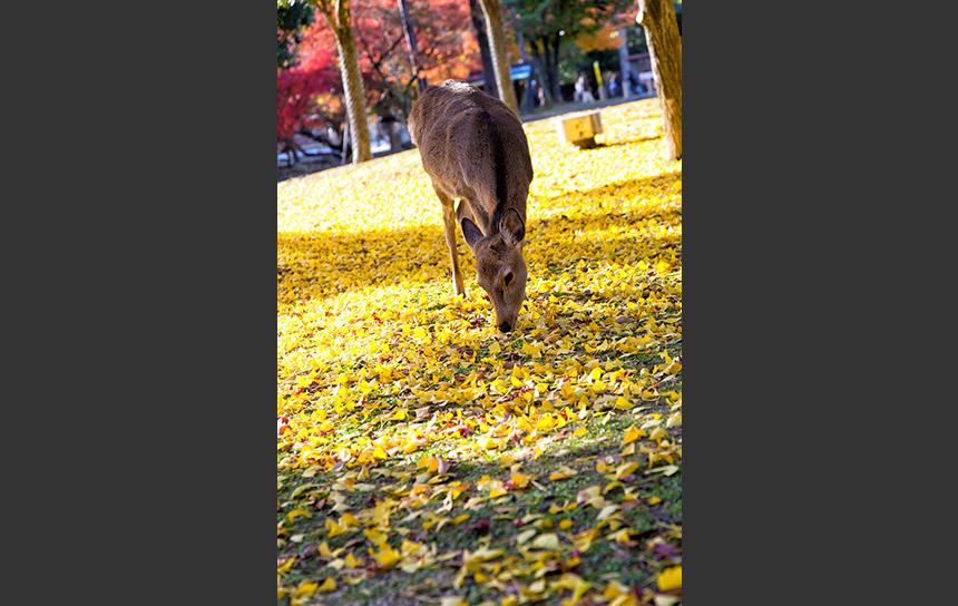 黄葉のじゅうたんを歩く秋のニホンジカ(鹿)