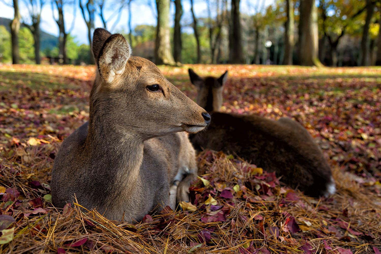 落ち葉のクッションに座るニホンジカ(鹿)