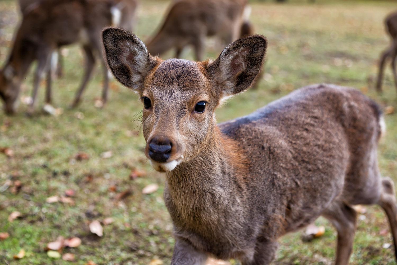 そっと近づいてきたニホンジカ(鹿)