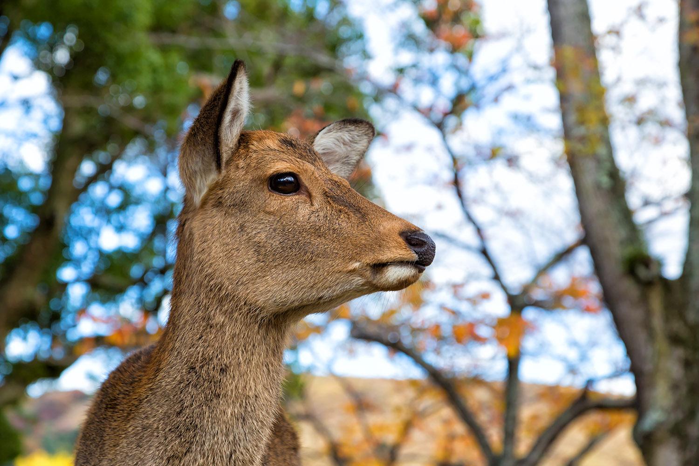 優しい目をした可愛いニホンジカ(鹿)