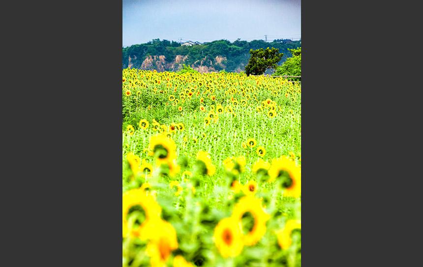 佐渡島のひまわり畑