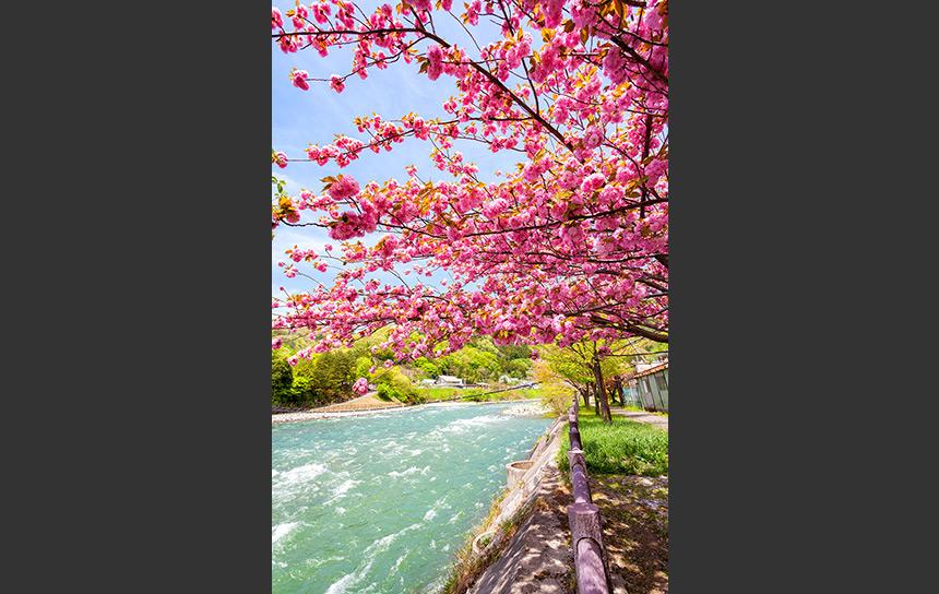 利根川と桜