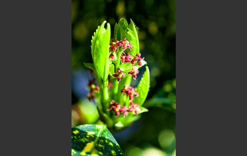 アオキの芽