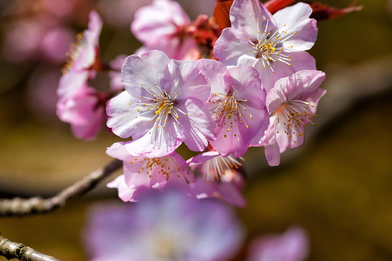 小ぶりの枝にぶらさがる桜の花びら