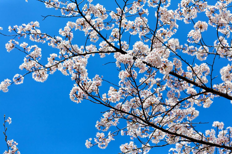 桜のピンクとスカイブルーのコラボレーション