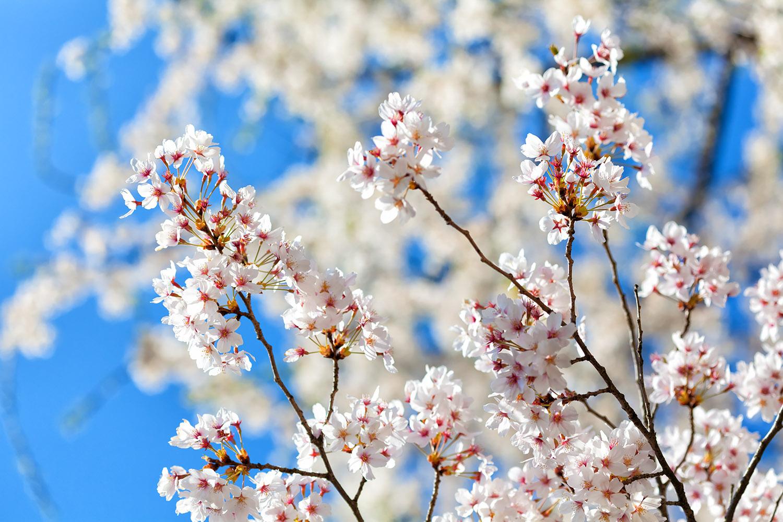 青空をバックに咲く桜の花
