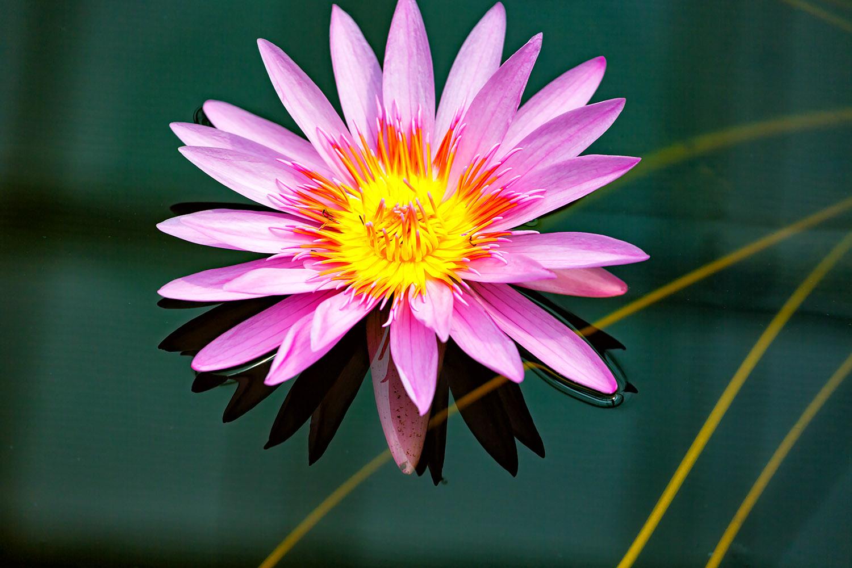 池に浮かんだスイレンの花