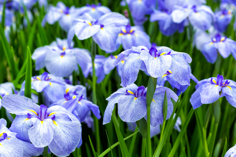 紫のショウブ