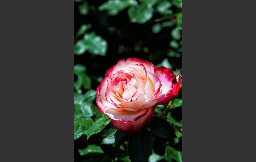 見事に開いたピンクと白の薔薇