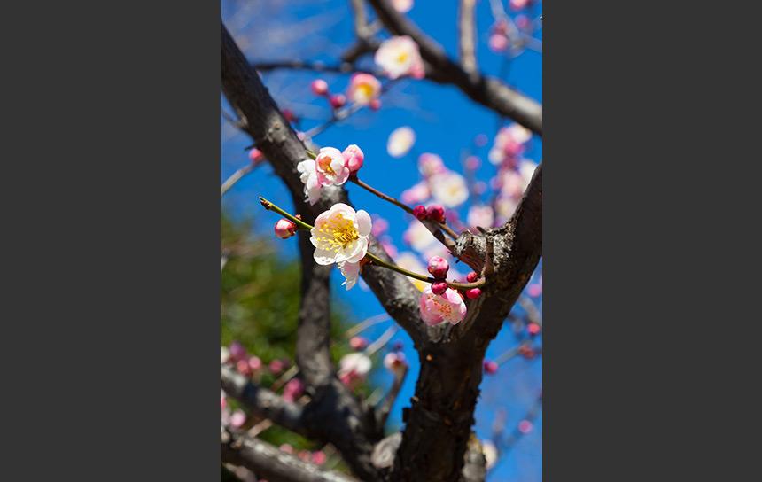 快晴の青空、東京で観る梅の花