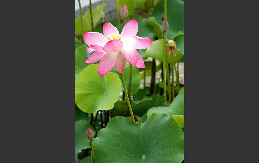 池から顔を出した水に濡れる睡蓮の花