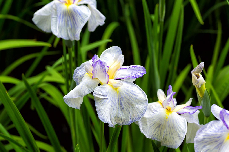 白い花びらに紫の縁取り、咲き誇る菖蒲の花