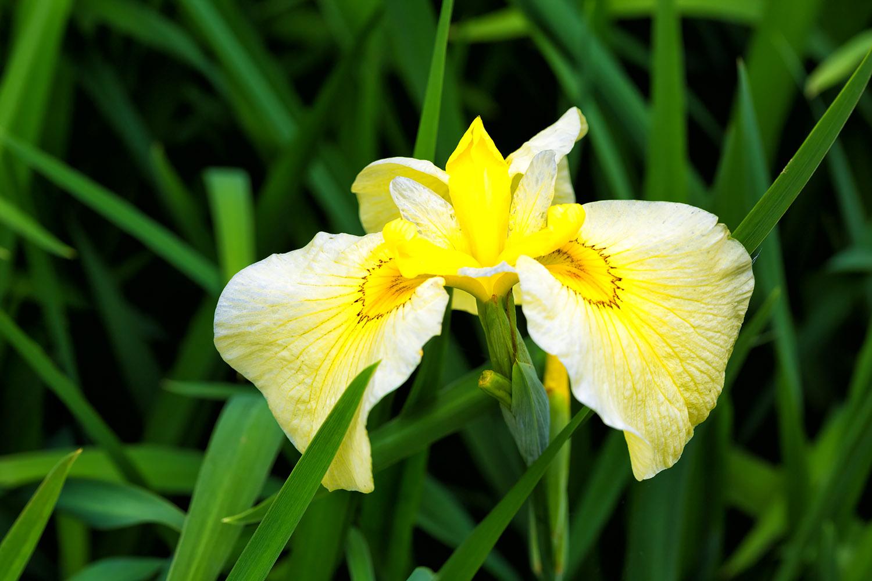 大輪の花びら、黄色い菖蒲の花