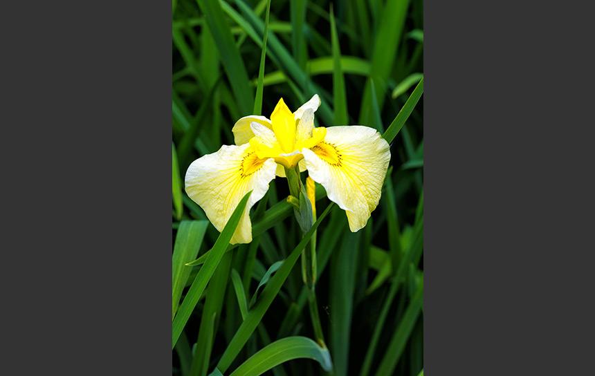 初夏の象徴!緑の葉と菖蒲の花