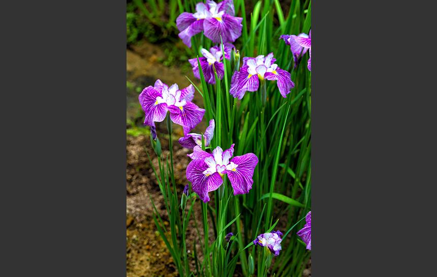 菖蒲の花、緑の茎と紫の花びら