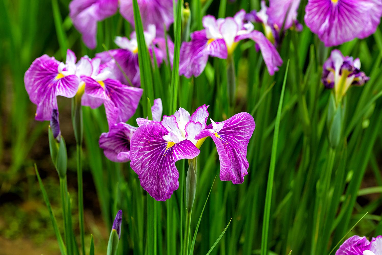 ショウブ?アヤメ?、これは紫のショウブの花