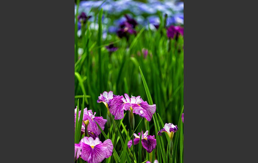 初夏の湿地を彩る紫の菖蒲