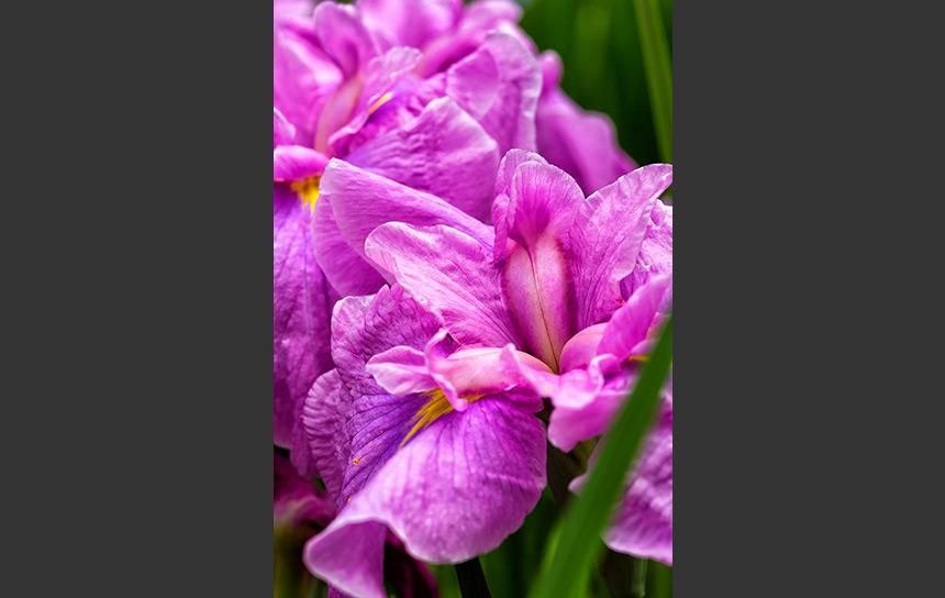 鮮やかなピンクに染まった菖蒲の花