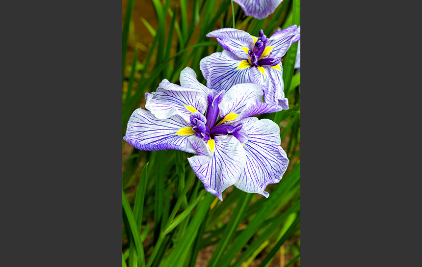 薄紫の菖蒲の花