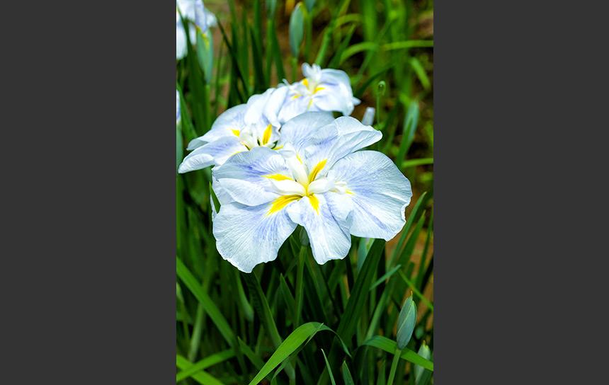 薄い水色、可憐な菖蒲の花びら