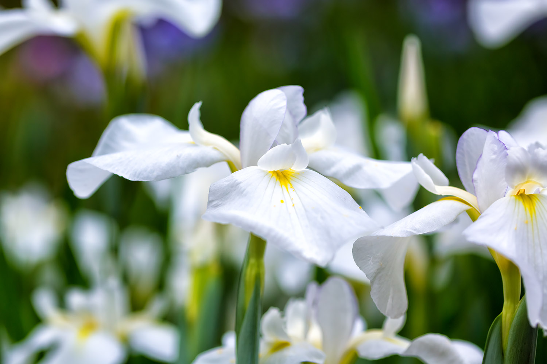 日光を反射する真っ白な菖蒲の花