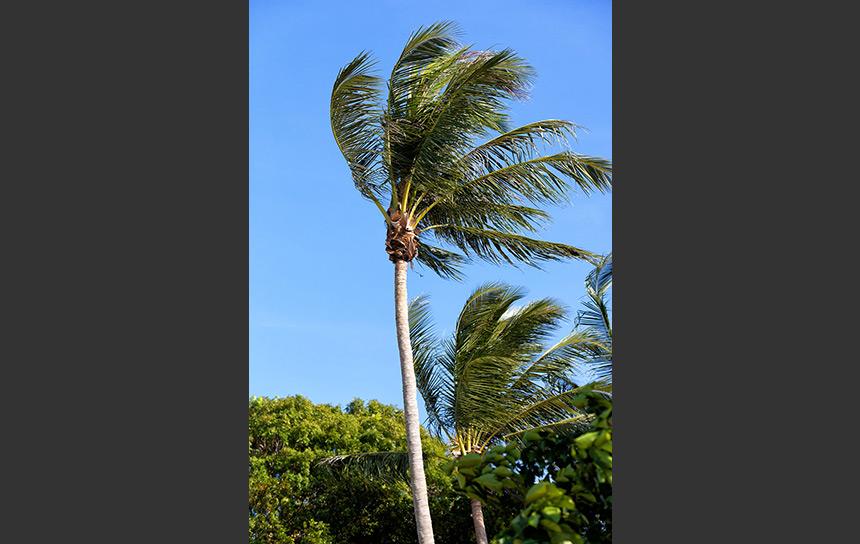 シンガポール ウビン島の風に揺れるヤシの木