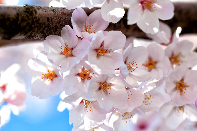 春爛漫 桜で白く染まった大空 無料壁紙 商用利用可の画像素材なら