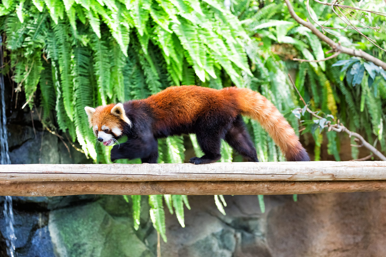 丸太の上を走るレッサーパンダ