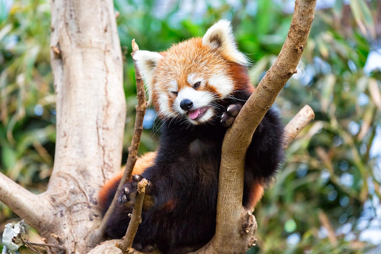 【レッサーパンダ】元祖パンダは私