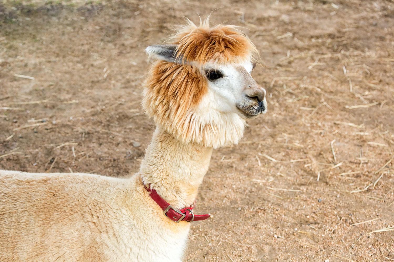 毛剃り後のアルパカ。首がほっそり!