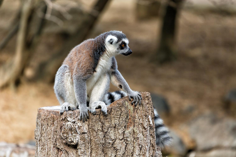 マダガスカルの猿・ワオキツネザルってどんな動物なの?