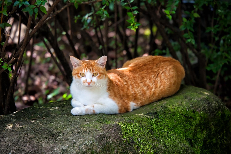 岩の上でくつろぐ茶白猫
