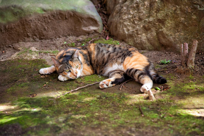 地面に横たわる三毛猫