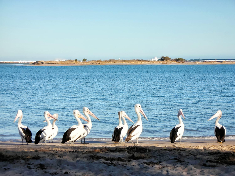 オーストラリア・カルバリー、波止場のペリカン
