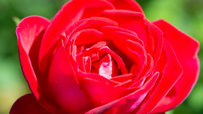 満開直前の真紅のバラ