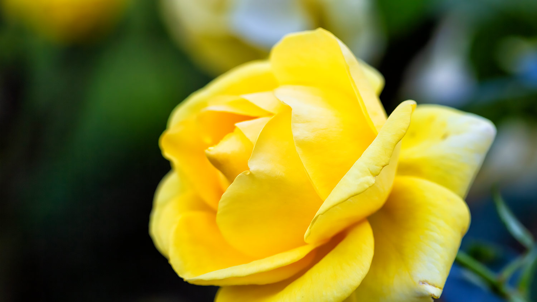 黄色の薔薇、伊豆の踊子の花びら