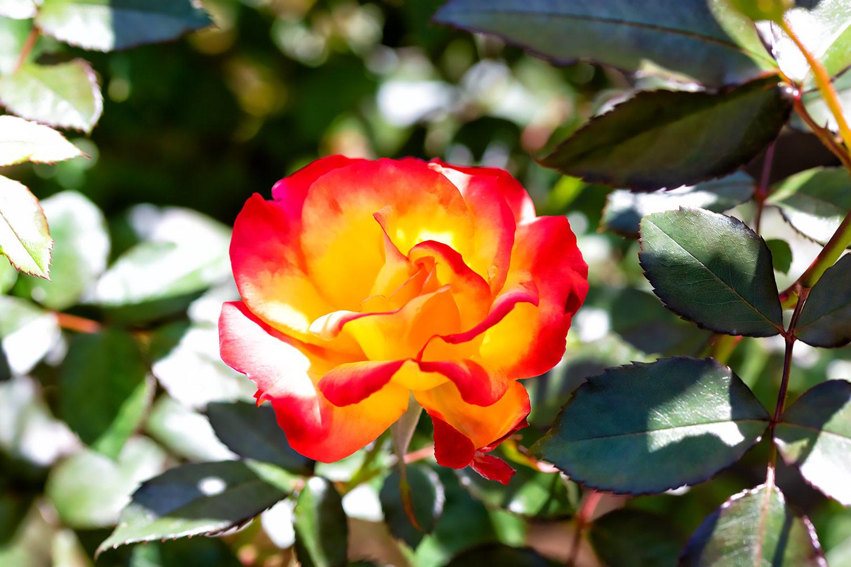 赤と黄色に透けるきれいなバラ