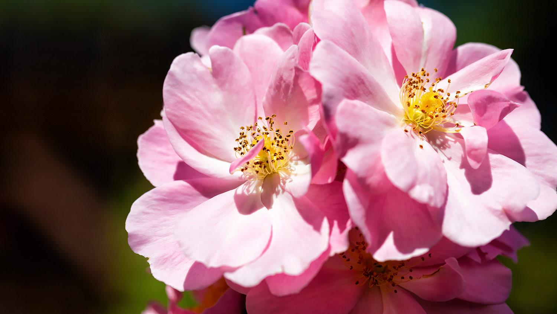 ピンクのバラ、クイーンマザーの花弁