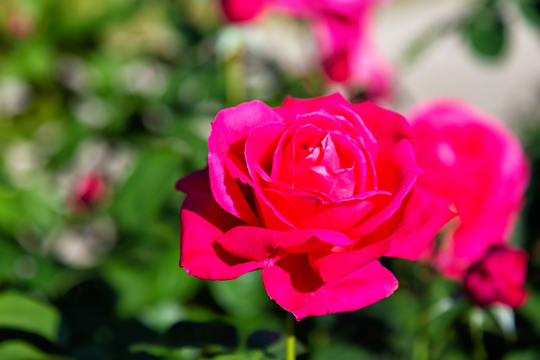 濃い赤の紫雲・ハイブリッドティーローズ