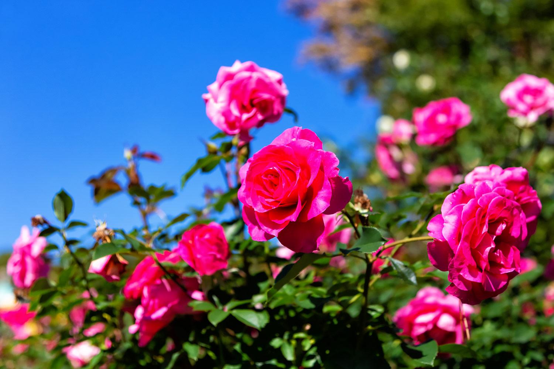 快晴の空にむかう赤いバラ